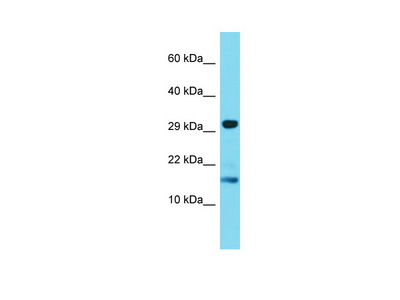 TREML4 Antibody - C-terminal region (ARP69621_P050)