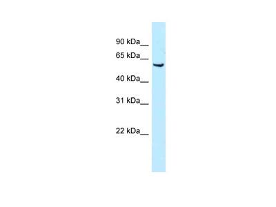 Meis1 antibody - N-terminal region (ARP38148_P050)