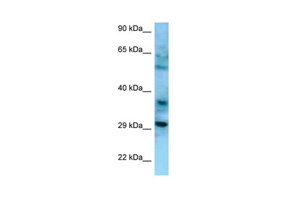 CD47 antibody - N-terminal region (ARP63284_P050)
