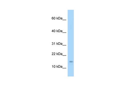 Eif4ebp1 antibody - N-terminal region (ARP52033_P050)