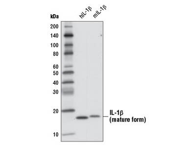 IL-1β (3A6) Mouse mAb