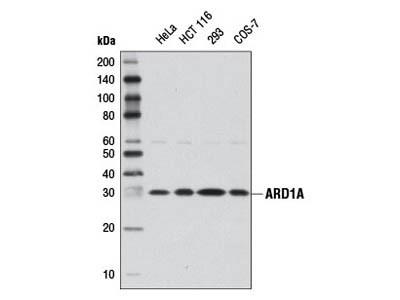 ARD1A Antibody