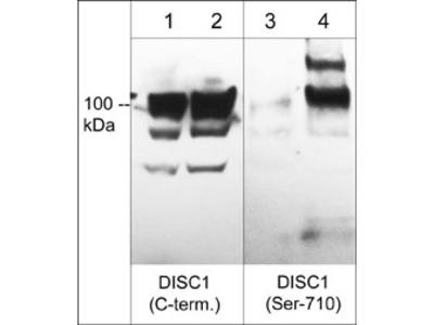 DISC1 Phospho-Regulation Antibody Sampler Kit