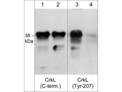 CrkL (Tyr-207), phospho-specific Antibody
