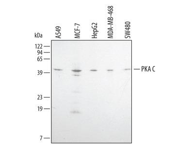 Human / Mouse / Rat PKA C (pan) Pan Specific Antibody