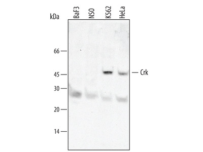 Crk Antibody