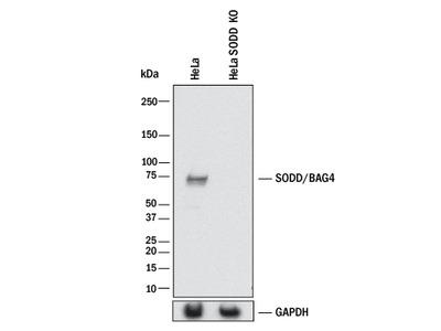 SODD /BAG4 Antibody