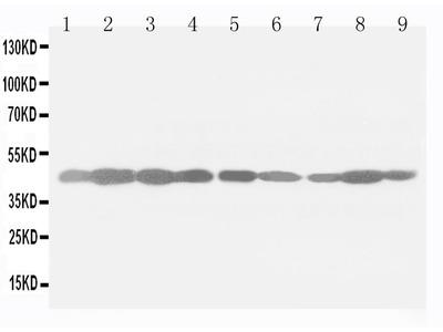 anti-ACTB (Act5C) antibody