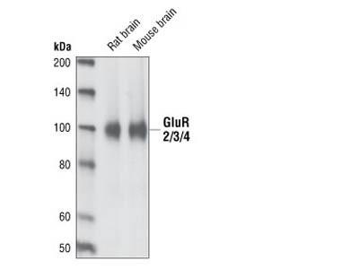 AMPA Receptor (GluA2/3/4) Antibody