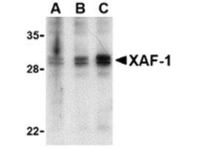 anti-XAF1 antibody