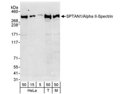 Alpha Fodrin Antibody