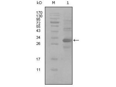 anti-ALCAM (CD166) antibody