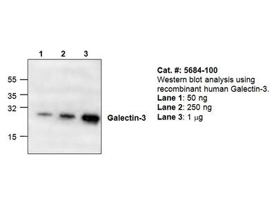Galectin-3 Antibody