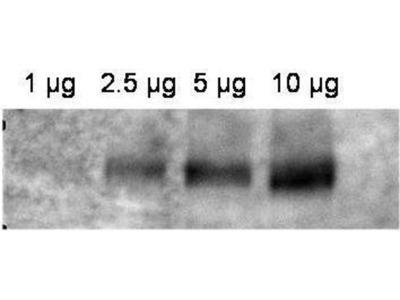 anti-ABCB1 (Abcb1a) antibody