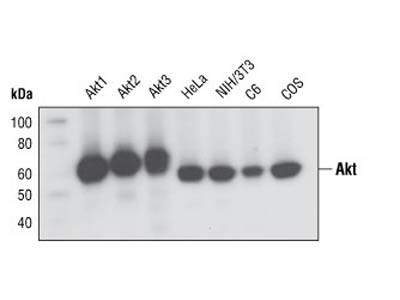 Great Monoclonal Antibody to Detect all Akt Isoforms