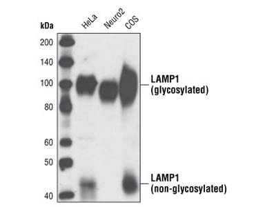 LAMP1 (C54H11) Rabbit mAb