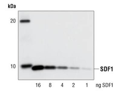 SDF1/CXCL12 Antibody