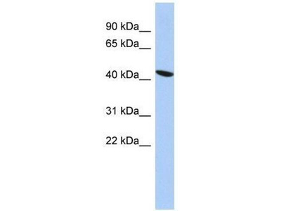 anti-Zinc Finger Protein 71 (ZNF71) (Middle Region) antibody
