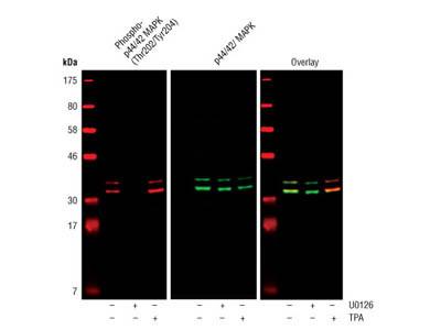 Detection of Phospho ERK