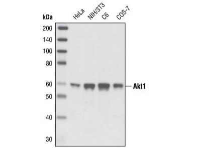 Akt1 Antibody from Cell Signaling