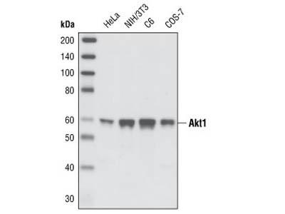 Akt1 (C73H10) Rabbit mAb