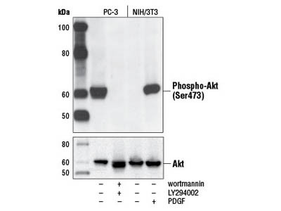 Phospho-Akt (Ser473) Antibody from Cell Signaling