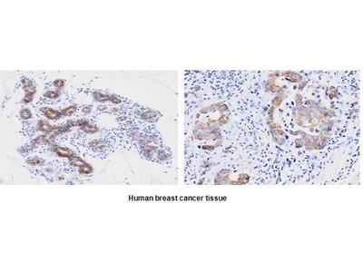 anti-PPIF antibody