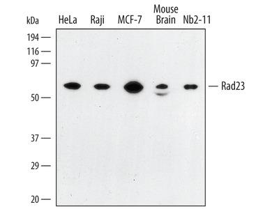 Rad23 Antibody