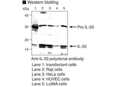 Anti-IL-33 (Human) pAb