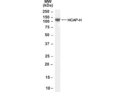 NCAPH Antibody