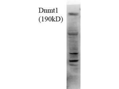 anti-DNMT1 (MET1) antibody