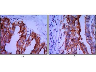 anti-ALP (phoA) antibody