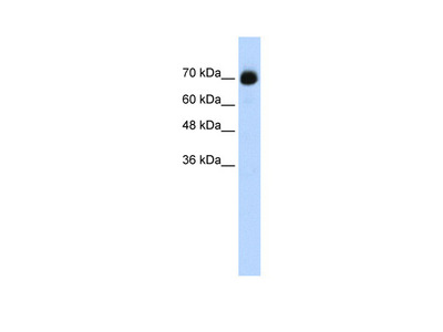 CXXC1 antibody - C-terminal region (ARP39110_T100)