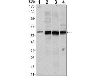 anti-AKT1 (AKT) antibody