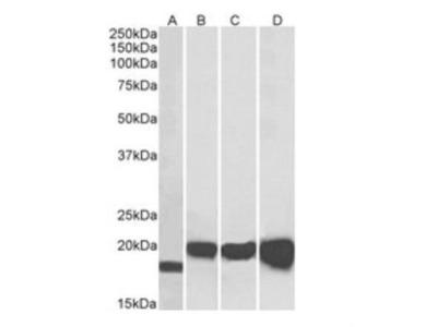 Goat Polyclonal SOD1 / Cu-Zn SOD Antibody