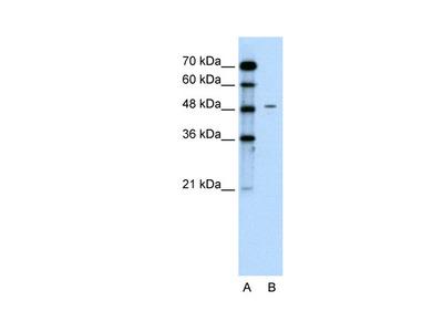 CHGA antibody - C-terminal region (ARP41931_P050)