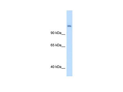 CPS1 antibody - middle region (ARP45690_T100)