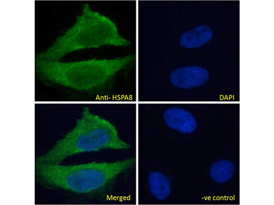 HSPA8 / HSC70 Antibody