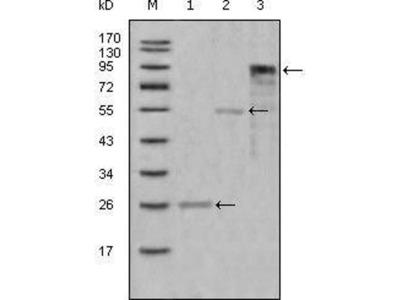 anti-MPO (mpx) antibody
