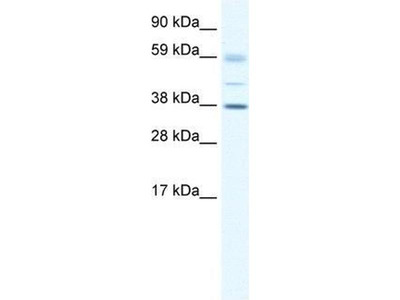 anti-SOX17 antibody