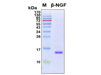 Recombinant Human NGF (beta)