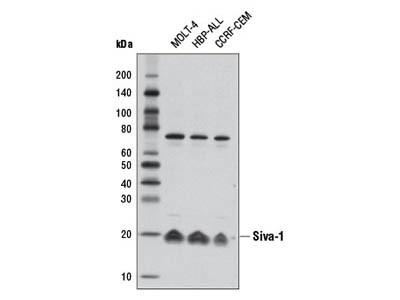 Siva-1 Antibody