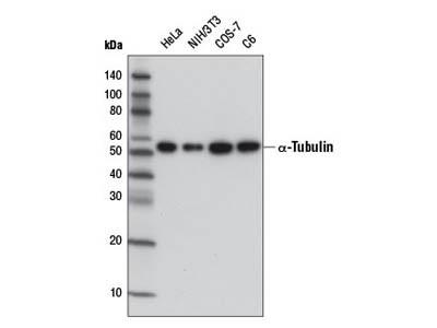 α-Tubulin (DM1A) Mouse mAb (HRP Conjugate)