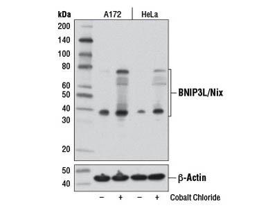 BNIP3L/Nix (D4R4B) Rabbit mAb