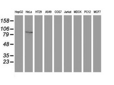 Gephyrin Monoclonal Antibody