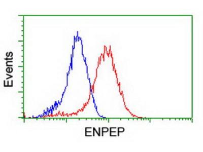 ENPEP / Aminopeptidase A Monoclonal Antibody