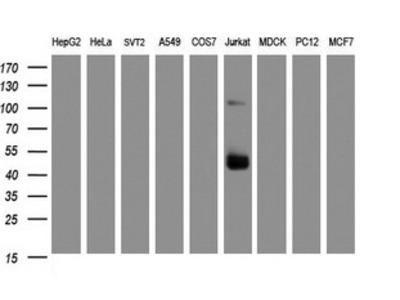 CD2 Monoclonal Antibody