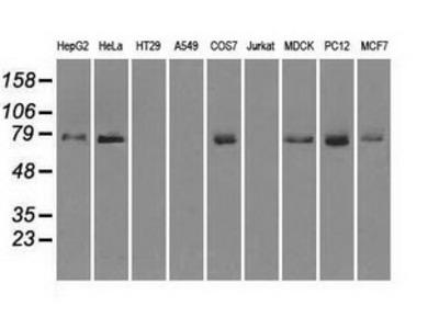 KIND2 / FERMT2 Monoclonal Antibody