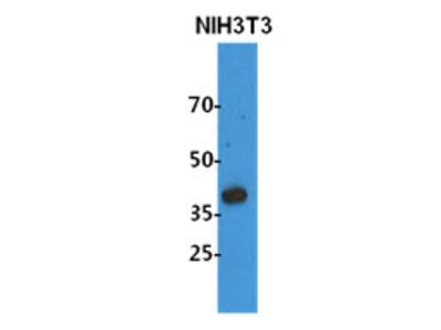 NDE1 / NUDE Monoclonal Antibody