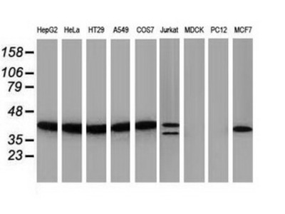 PIH1D2 Monoclonal Antibody